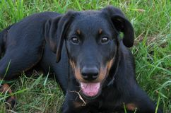 Beauceron puppy Stock Photography