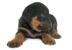 Beauceron puppy in studio Royalty Free Stock Image