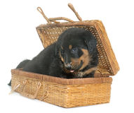 Beauceron puppy in studio Stock Photo