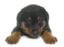Beauceron puppy in studio Stock Photography