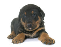 Beauceron puppy in studio Stock Photos