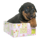 Beauceron puppy in studio Royalty Free Stock Photos