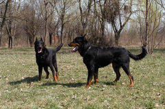 Beauceron Stock Photos
