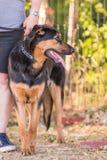 Beauceron vuxen människahund royaltyfri foto