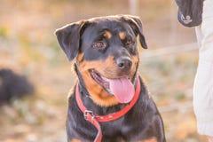 Beauceron vuxen människahund royaltyfri bild