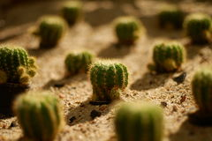 Beaucoup cactus sur le sable Photo stock