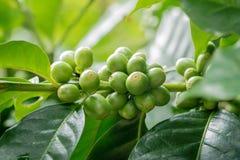 Beaucoup café frais sur l'usine avec leaves1 vert Photo stock