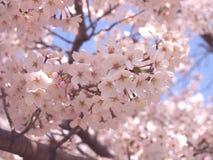 Beaucoup Cherry Blossom Sakura Photos libres de droits