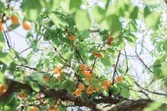Beaucoup d'abricots oranges mûrs sur l'arbre avec le soleil entre les branches image stock
