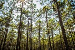 Beaucoup d'arbres de bois du pin Photos libres de droits