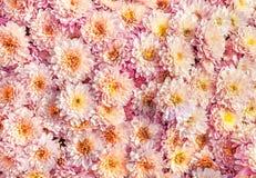 Beaucoup d'aster rose de fleur, marguerite Photographie stock libre de droits