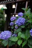 Beaucoup d'hortensias et de feuilles violets photos libres de droits