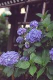 Beaucoup d'hortensias et de feuilles violets photos stock