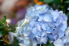 Beaucoup d'horticulture bleue et blanche d'hortensia dans le jardin, fond floral photo libre de droits