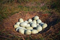 Beaucoup d'oeufs dans le nid moulu, nid d'un plus grand nandou, nandou americana, Pantanal, Brésil, les nids sont collectivement  Images stock