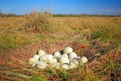 Beaucoup d'oeufs dans le nid moulu, nid d'un plus grand nandou, nandou americana, Pantanal, Brésil, les nids sont collectivement  Photographie stock libre de droits