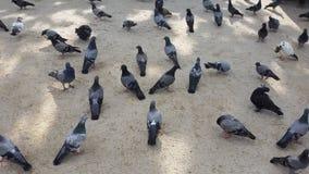 Beaucoup d'oiseaux mangent de la nourriture au sol Photo libre de droits