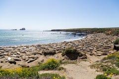 Beaucoup d'otaries dormant sur la plage Photos libres de droits