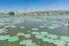 Beaucoup d'usines de lotus dans le grand marais, Bangkok Photographie stock libre de droits