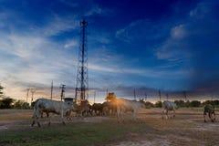 Beaucoup de bétail et de buffles marchent à la maison sur la pelouse par l'intermédiaire des poteaux de téléphone image libre de droits