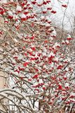 Beaucoup de baies rouges de boule de neige en hiver Photo libre de droits