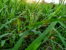 Beaucoup de baisses de ros?e sur le dessus de l'herbe verte pendant le matin, l? est soleil orange, se sentant frais chaque fois  photos libres de droits