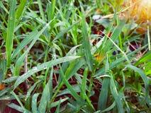 Beaucoup de baisses de ros?e sur le dessus de l'herbe verte pendant le matin, l? est soleil orange, se sentant frais chaque fois  image stock