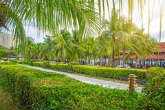 Beaucoup de beaux hauts palmiers se développent près, des paumes d'aleya, île tropicale et les beaux arbres deviennent le ciel l' Photos stock