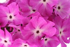 Beaucoup de belles fleurs roses Images stock