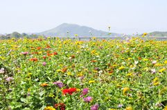 Beaucoup de belles fleurs sauvages de chrysanthème images stock