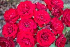 Beaucoup de belles roses dans le jardin Photographie stock libre de droits