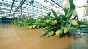 Beaucoup de bouquets avec les tulipes jaunes se déplacent sur la ligne automatisée en serre chaude banque de vidéos
