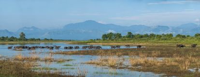 Beaucoup de buffles dans le lac, grand panorama de taille Images stock