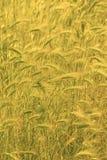 Beaucoup de céréales jaunes sur la zone photo stock