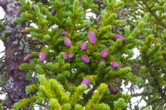 Beaucoup de cônes de sapin pourpres accrochent sur un arbre conifére avec le needl vert photo libre de droits