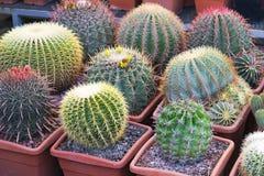 Beaucoup de cactus épineux de différentes formes et tailles, mis en pot, jeunes plantes, boutique, exposition Photos libres de droits