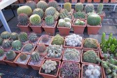 Beaucoup de cactus épineux de différentes formes et tailles, mis en pot, jeunes plantes, boutique, exposition Images libres de droits