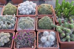 Beaucoup de cactus épineux de différentes formes et tailles, mis en pot, jeunes plantes, boutique, exposition Photo stock