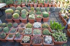 Beaucoup de cactus épineux de différentes formes et tailles, mis en pot, jeunes plantes, boutique, exposition Photographie stock libre de droits