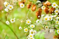 Beaucoup de camomille fleurit sur un champ de camomille de pré d'été dans des camomiles de blanc d'été Image libre de droits