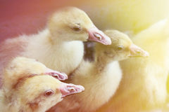 Beaucoup de canards dans la volière Photos stock