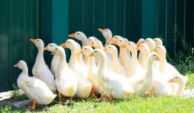 Beaucoup de canards de jeunes sur l'herbe verte Photographie stock libre de droits
