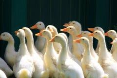 Beaucoup de canards de jeunes sur l'herbe verte Images libres de droits