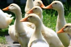Beaucoup de canards de jeunes sur l'herbe verte Photographie stock