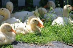 Beaucoup de canards de jeunes sur l'herbe verte Image stock