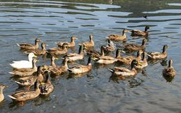 Beaucoup de canards et d'oies dans l'étang à la ferme dans la campagne Photos stock