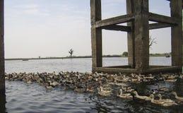 beaucoup de canards nagent en rivière Image libre de droits