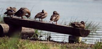 Beaucoup de canards presque se reposant sur un rondin Images libres de droits