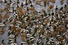 Beaucoup de canards sur l'eau Photo de couleur Photo stock