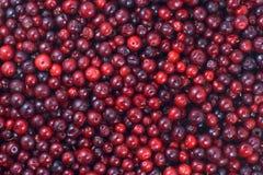 Beaucoup de canneberges se couchant sur la surface horizontale Un beau fond de fruit frais images stock